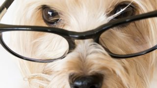 diary of a dog close up maltese with glasses